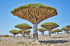 Dragon's Blood trees in Socotra - https://www.facebook.com/different.solutions.page