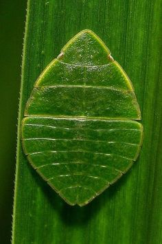What appearz to be a leaf is actually the nymph of a leafhopper (Ledrinae, Cicadellidae) that likes to keep an incredibly low profile.