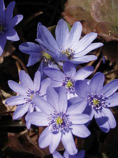 Thanks to our wonderful horticulture staff, we have AMAZING flowers such as the Liverleaf Hepatica to share!   @ the Calgary Zoo