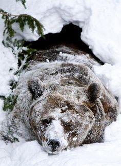 Sleepy bear.