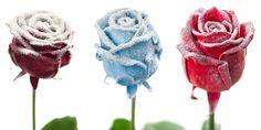 Flower Export News Item Wax Roses by Primera Snow
