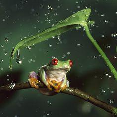 Bing Frog Wallpaper | Tree Frog Wallpaper Download | Wallpaper