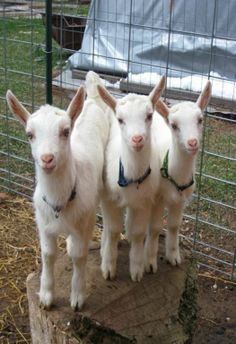 Three White Goats [little heart shaped noses] Cute Creatures, Beautiful Creatures, Animals Beautiful, Farm Animals, Animals And Pets, Cute Animals, Cabras Saanen, Animal Pictures, Cute Pictures