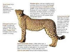 Cheetah's body built for speed. Usain Bolt Facts, Zoo Animals, Wild Animals, Animals Planet, Asian Leopard Cat, Art Journal Challenge, Weird Science, Endangered Species, Weird Facts