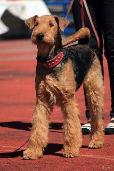 Airedale terrier a magnificent and beautiful dog ✨✨✨