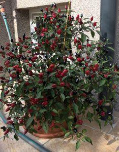 Chilis im September 2016 Chilis, September, Plants, Harvest, Chili, Chile, Plant, Planets