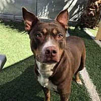 STOCKTON, CA - Pit Bull Terrier. Meet MAMA a Dog for Adoption.
