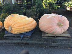 Huge pumpkins at Christianson's nursery in La Conner WA!! Photo by Terre Brock