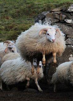 Leaping Icelandic Sheep