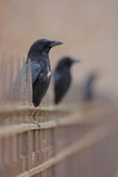 sitting on the fence, three crows in a row - beautiful picture