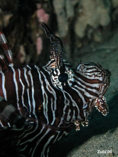 Lionfish     http://www.starfish.ch/photos/fishes-Fische/scorpionfishes-Skorpionfische/Pterois-volitans.jpg