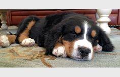 Louie. A Bernese Mountain Dog pup.
