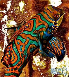Mandarinfishis the most beautiful member of the genus Synchiropus. It is also one of the most breathtaking marine fish ever to be found in our oceans. It looks more like an intricate painting that it does a fish, its entire body is made up of wavy alternating lines of orange, blue and green.While they are commonly known as the Mandarin Goby and the Mandarinfish, their true name is the...