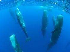 Sperm whale sleeping :)