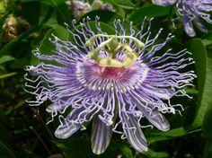 Passion flower (Passiflora incarnata) Prairie Garden, Passion Flower, Wild Flowers, Nativity, Beautiful Things, Poppies, Purple, Blue, Dandelion