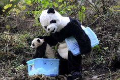 person in panda suit releases baby panda into the wild