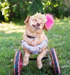 Voici Daisy. En chaise roulante et sauvée de l'euthanasie, c'est désormais une star sur Instagram !