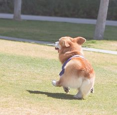 Geordi La Corgi attempting a conga line! Find out the best Corgi goods only at Corgilover. Cute Puppies, Cute Dogs, Dogs And Puppies, Doggies, Teacup Puppies, Cute Funny Animals, Cute Baby Animals, Corgi Dog, Dog Cat
