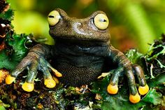 Tree Frog, Colombia