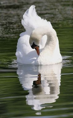 Cygnus Olor, The mute swan. A very old legend says that swans are mute throughout their lives but sing beautifully and mournfully just before they die. Beautiful Swan, Beautiful Birds, Animals Beautiful, All Birds, Love Birds, Swans, Animals And Pets, Cute Animals, Photo Animaliere