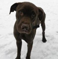 GORGEOUS Chocolate Lab mix!! Gonzo: Chocolate Labrador Retriever, Dog; Canastota, NY