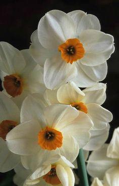 Narciso Narcissus tazetta 'Geranium' Fotografia de John Glover, uno de los primeros y de los mas importantes fotografos de jardin del Reino Unido