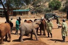 Nachdem die Elefantewaisen gut angekommen sind, wurden sie gleich mit einer Flasche Milch begrüßt und auch von den anderen Elefantenwaisen herzlich in Empfang genommen.  Bild: (c)DSWT