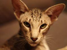 20 Most Affectionate Cat Breeds in The World - Hunk o burnin love Amun ra - Pretty Cats, Beautiful Cats, Pretty Kitty, Devon Rex, Cute Cats And Kittens, Cool Cats, Sphynx, Oriental Cat Breeds, American Bobtail Cat
