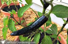 Growing hot peppers in garden beds and containers Organic Liquid Fertilizer, Tomato Fertilizer, Growing Green Peppers, Growing Greens, Bell Pepper Plant, Pepper Plants, Veg Garden, Garden Beds, Planting Vegetables