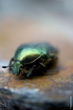insecte bijou