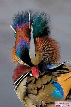 Patos mandarines- Simboliza el amor de una pareja joven y amor con final feliz. Suroeste