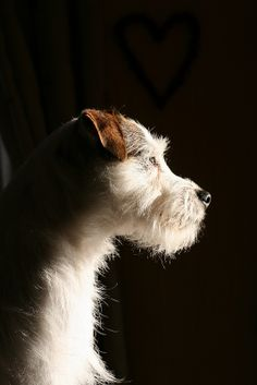 Jack Russell Terrier photographed in beautiful lighting.