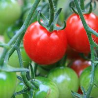 Vegetable gardening has lately become just as popular as going to the grocery store fore produce. Vegetable gardening can produce vegetable that are usually cheaper than store bought, and vegetables from a home vegetable garden defin