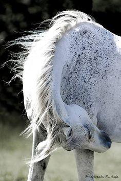 Beautiful Fleabitten Grey Horse
