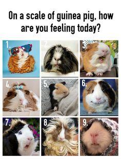Cute Little Animals, Cute Funny Animals, Funny Animal Pictures, Guniea Pig, Pet Guinea Pigs, Cute Piggies, Mundo Animal, Cute Comics, Cute Gif