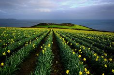 """Photographer Roy Curtis 1 tells us: """"They were taken yesterday (Sunday 22nd January 2012) aftternoon on the South Cornwall coast in England, UK. Precise location is Rosemullion Head near Falmouth, Cornwall.""""  http://daffodilfestivals.com/firstdaffodils/"""
