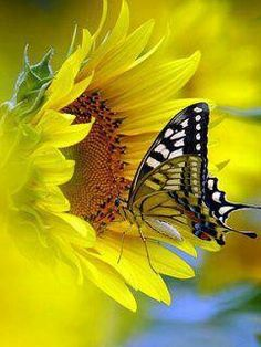 A happy sunflower and butterfly!