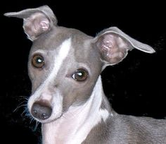 Italian grey hound This is going to be my first dog when i get my own place :)