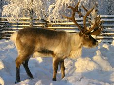 Santatelevision: video stories about Lapland, Santa's magical home in Rovaniemi in Lapland in Finland. Finnish Lapland videos in Santa Claus Internet TV Santa Claus Village, Santa Clause, Nordic Lights, Fjord, Photos Voyages, Arctic Circle, Tier Fotos, Wild Nature, Winter Scenes