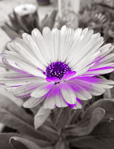 Colorful Purple and White Marigold