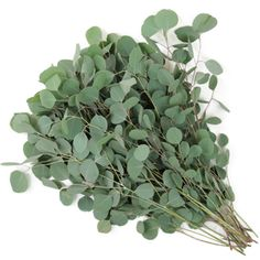 A fresh green, Silver Dollar Eucalyptus is an aromatic filler with a long vase life. Its large rounded leaves are attractively contrasted against smaller lateral branches. This freshly smelling eucalyptus greenery would provide a perfect filler for any wedding bouquet, table centerpiece or flower arrangement and is perfect for the wild Boho or Garden look! Order now and pay wholesale prices, plus get Free Shipping!