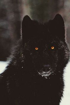 I have always felt that a wolf is my spirit animal. Not in a heroic sense, but that they are vicious predators. I hope to find my own wolf pack with a mindset that matches mine. Wolf Spirit, My Spirit Animal, My Animal, Beautiful Creatures, Animals Beautiful, Tier Wolf, Animals And Pets, Cute Animals, Black Animals