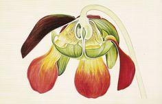 Pitcherplant Sarracenia purpurea. From the book Arthur Harry Church (1865 – 1937): The Anatomy of Flowers by David Mabberley. (London: Merrell Publishers, Ltd., 2000).