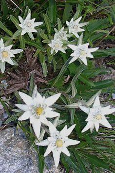 Alpine Flowers, Alpine Plants, White Flowers, Beautiful Flowers, Flowers Perennials, Planting Flowers, White Plants, Herb Seeds, Organic Seeds