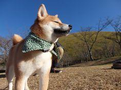 ちゃまめちゃん/大室山麓の公園にて/「んん~気持ちぃ~」そんな声が聞こえてきそうな表情に思わずほっこり。さすが伊豆高原はイヌ高原?!空気がきれいでとっても気持が良いみたい。ちゃまめちゃん、お気に入りの場所になりました。