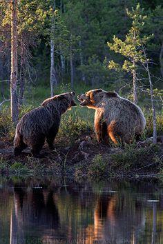 (via 500px / Bear Fight by Giovanni Mari)