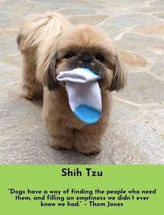 """Determine more details on """"shih tzu puppies"""". Look into our website. Shih Tzu Puppy, Shih Tzus, Pet Puppy, Dog Cat, Shitzu Puppies, Cute Dogs And Puppies, I Love Dogs, Doggies, Puppy Drawing"""