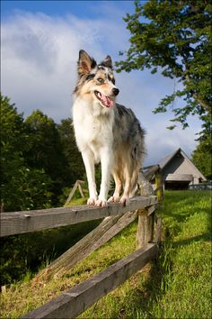 border collie blue merle (by Majchy)