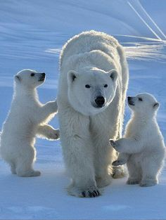 Photograph lovely polar bears by Veluchamy Thangavel on 500px