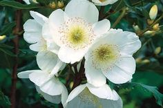 Image result for eucryphia moorei